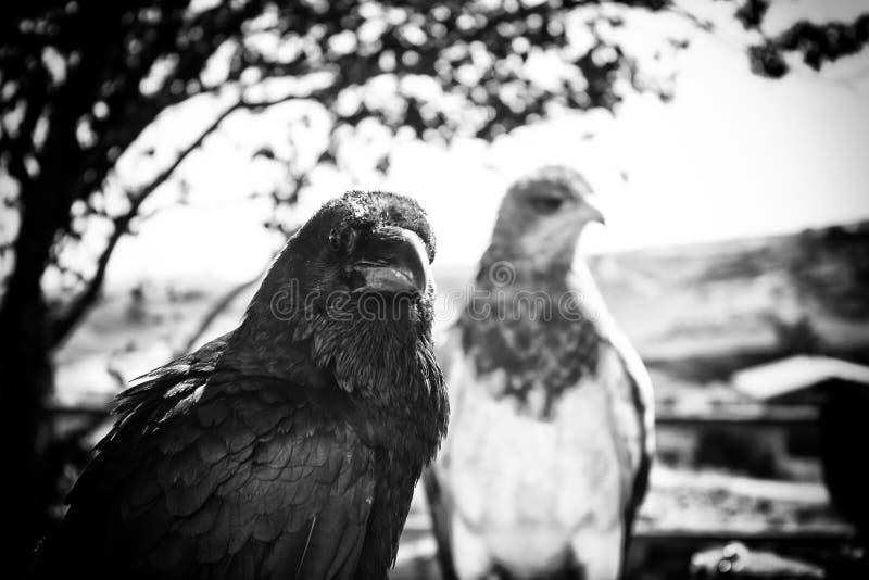 Corneille sauvage noire photos libres de droits