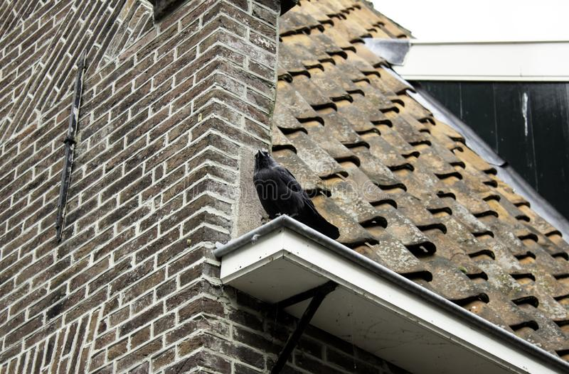 Corneille sur le toit photos libres de droits