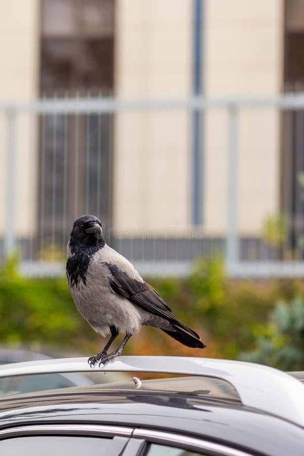 Corneille sur le toit de voiture Oiseau se reposant sur la voiture à la rue de ville Signe ou présage pour les personnes supersti images stock