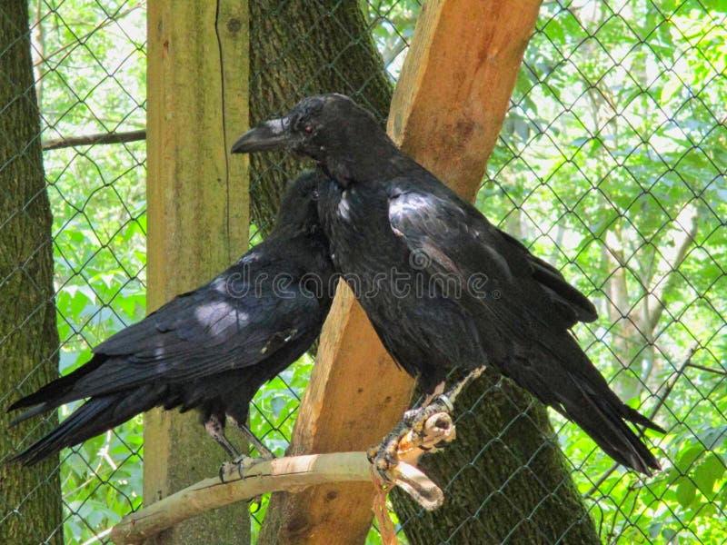 corneilles dans la cage dans le zoo photographie stock libre de droits