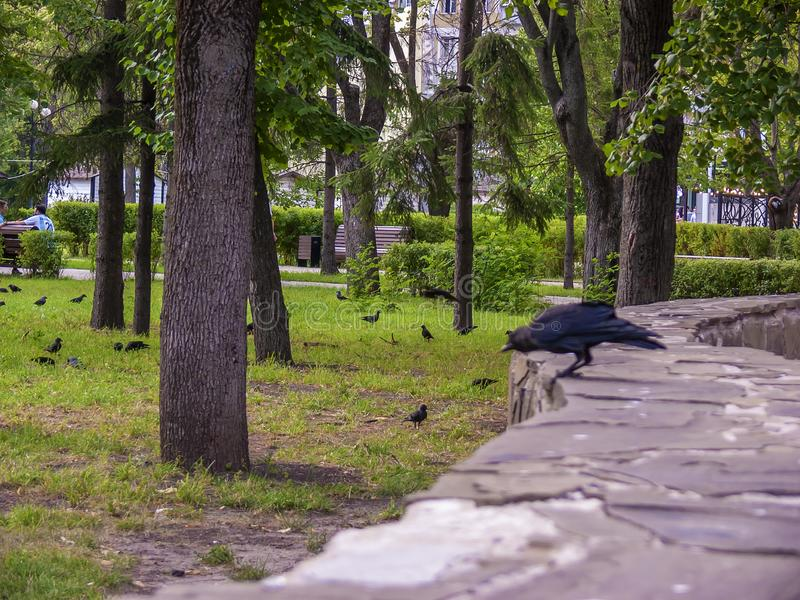 Corneilles sur l'herbe verte Stationnement de ville images stock