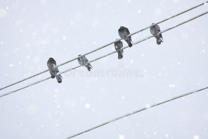 Corneilles sur les lignes électriques gelées images libres de droits