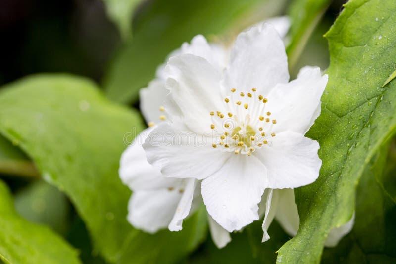 Cornejo inglés floreciente, flores blancas delicadas hermosas, primer Pétalos y estambres macros del coronarius de Philadelphus fotos de archivo