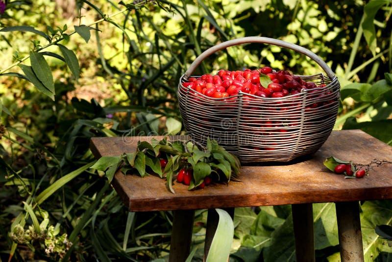 Cornejo maduro en una cesta del hierro en una tabla en el jardín foto de archivo libre de regalías