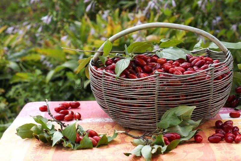 Cornejo maduro en una cesta del hierro en una tabla en el jardín imagen de archivo