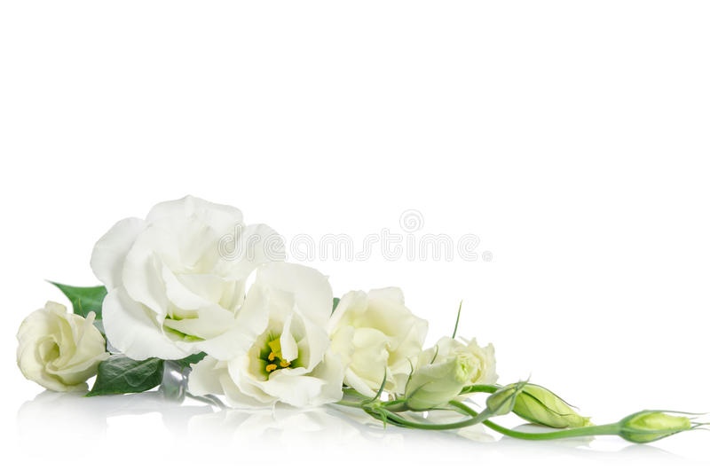 Corner from beautiful white eustoma flowers. Corner fron beautiful white eustoma flowers on white background royalty free stock photo