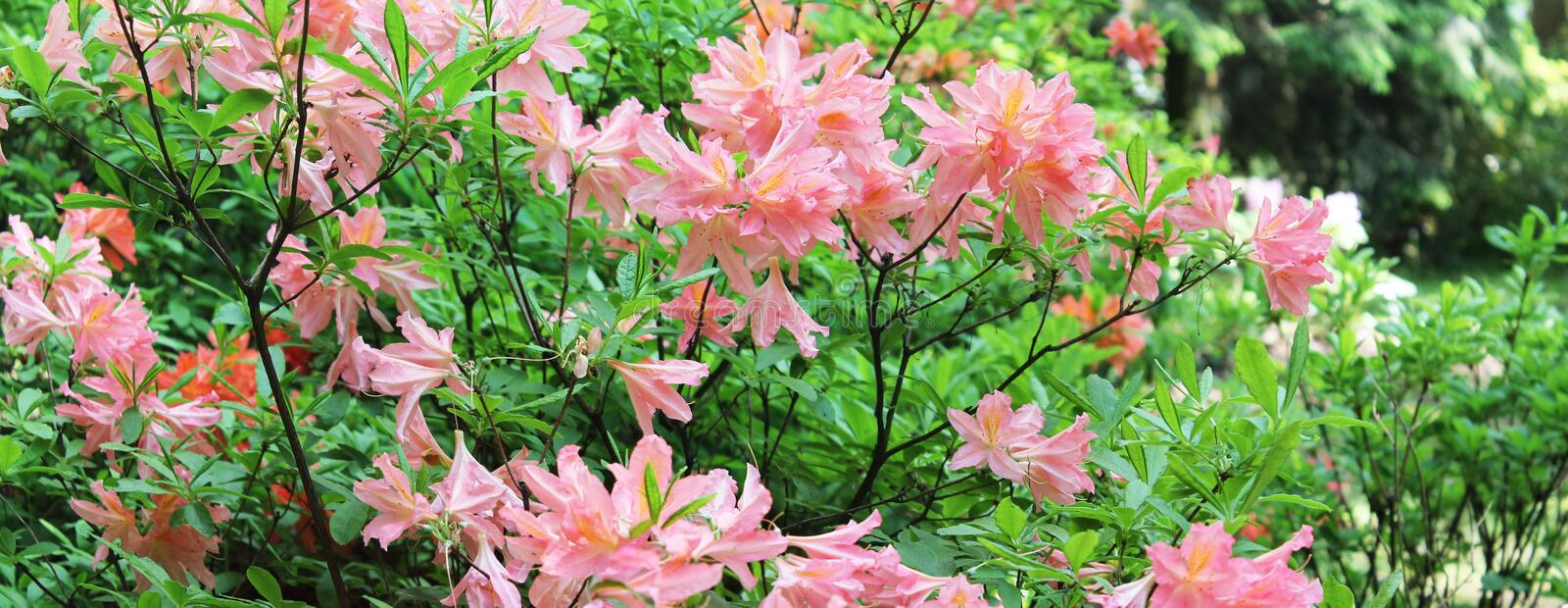 A corner of a botanical garden with bushes of pink rodendrons. Rodendron Panorama royalty free stock photos