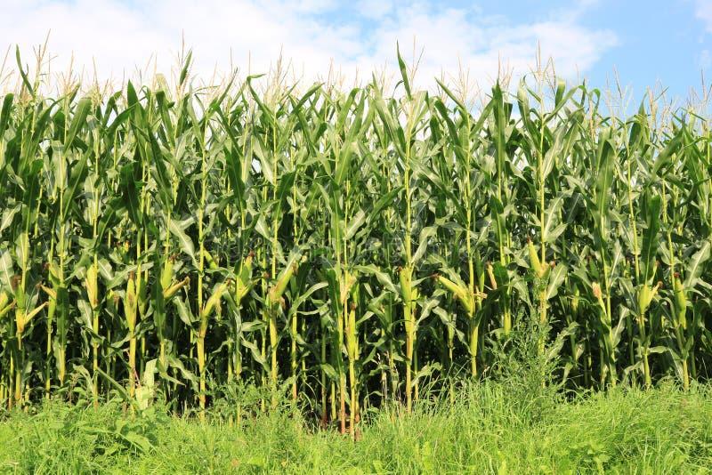 cornfield stockbilder
