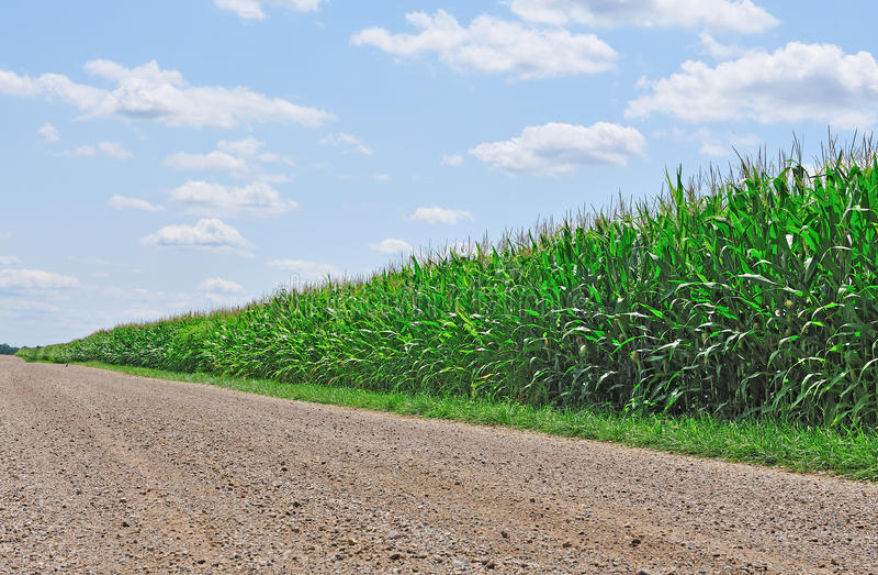 cornfield royaltyfri foto