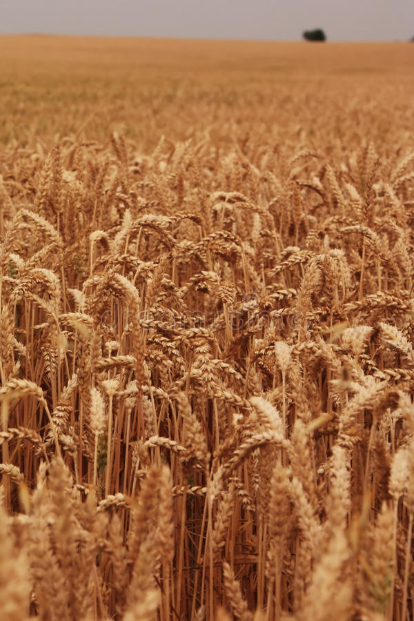 Cornfield. An cornfield before the harvest time royalty free stock images