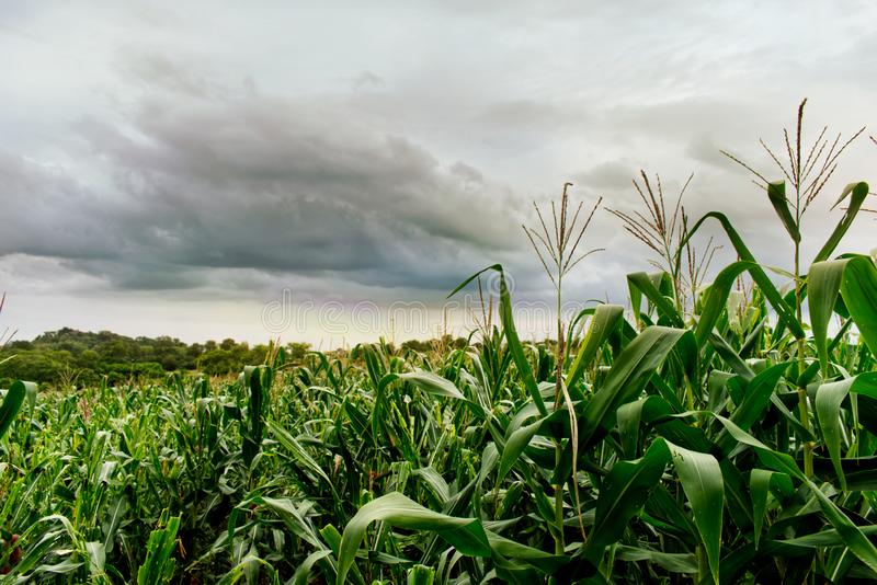 Close up view of cornfield in the north of Thailand, cloudy sky. Greenery field royalty free stock images