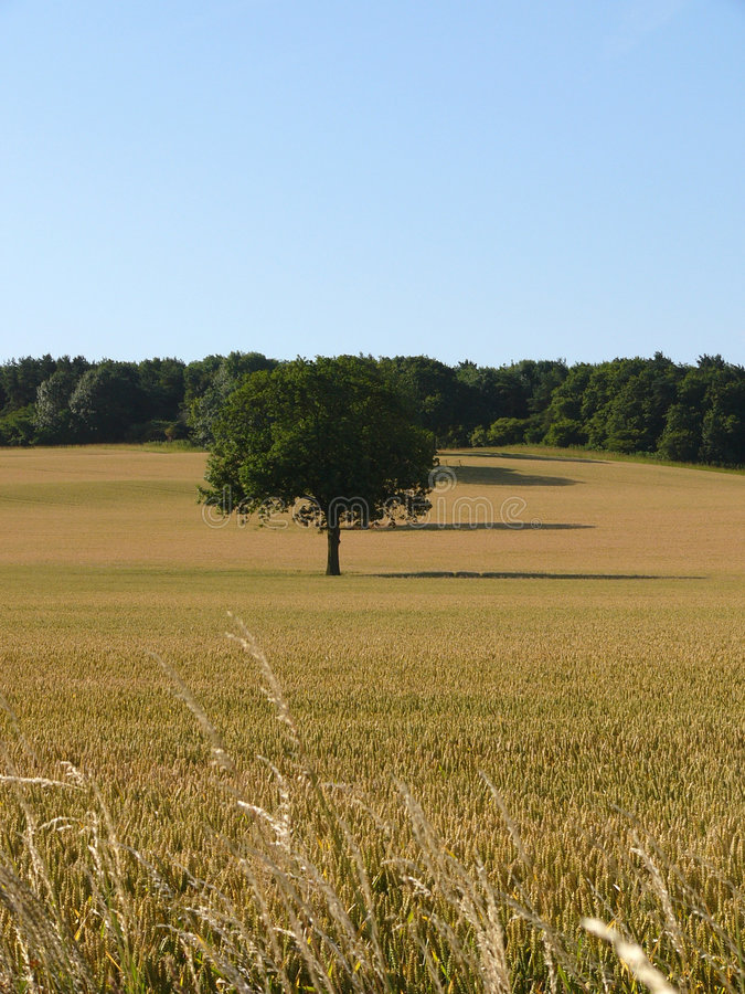 Download Cornfield stock image. Image of barley, english, cornfield - 175617