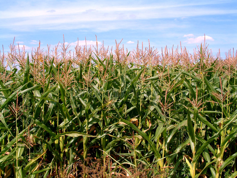 Download Cornfield 2 stock photo. Image of outdoors, color, growth - 75532