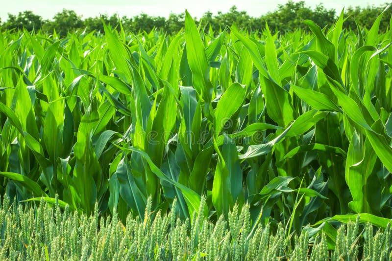 Download Cornfield stock photo. Image of coyntryside, grow, green - 25293166