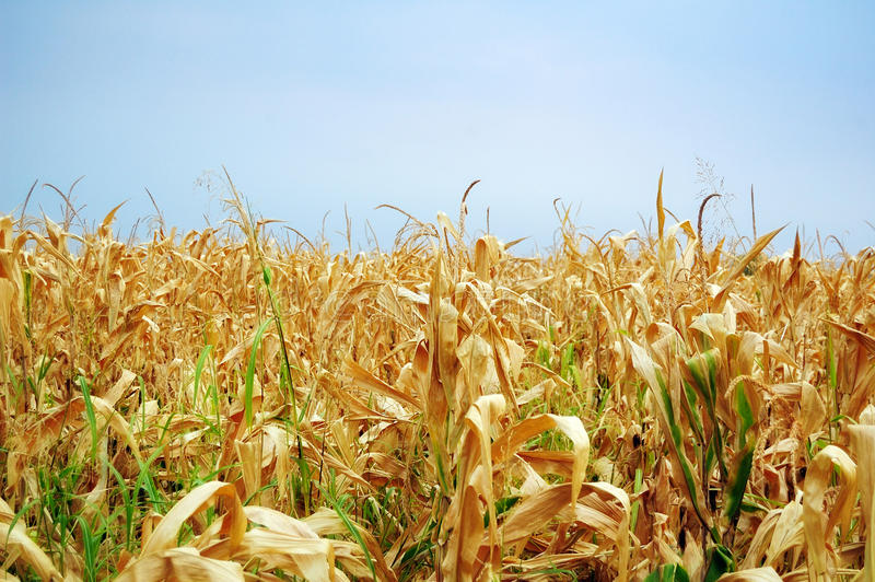 Download Cornfield stock photo. Image of economy, field, nature - 28172862