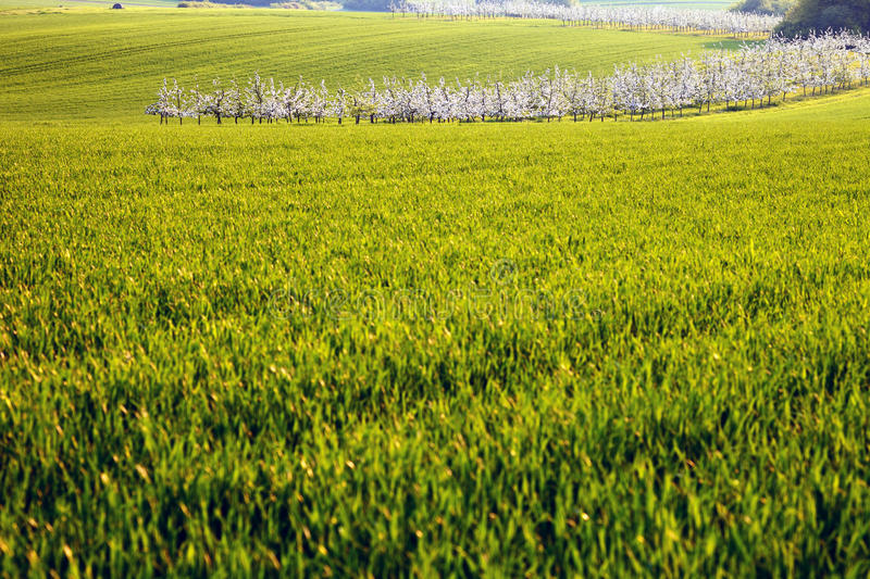 Download Cornfield Stock Photography - Image: 28222312