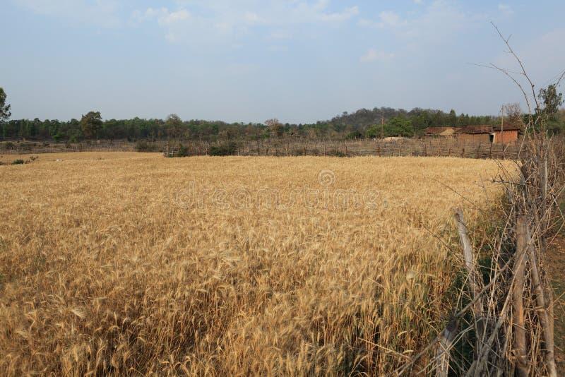 cornfield stockfotos
