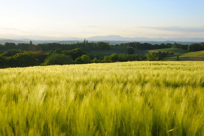 cornfield royalty-vrije stock afbeelding