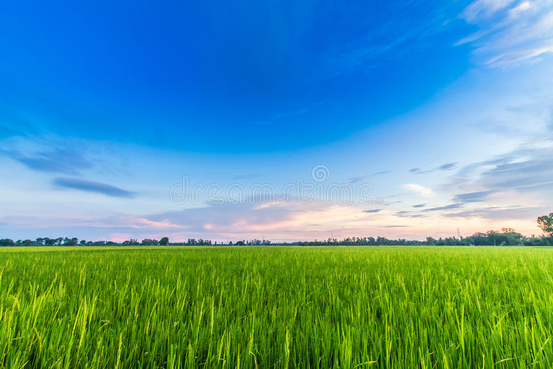 cornfield photographie stock