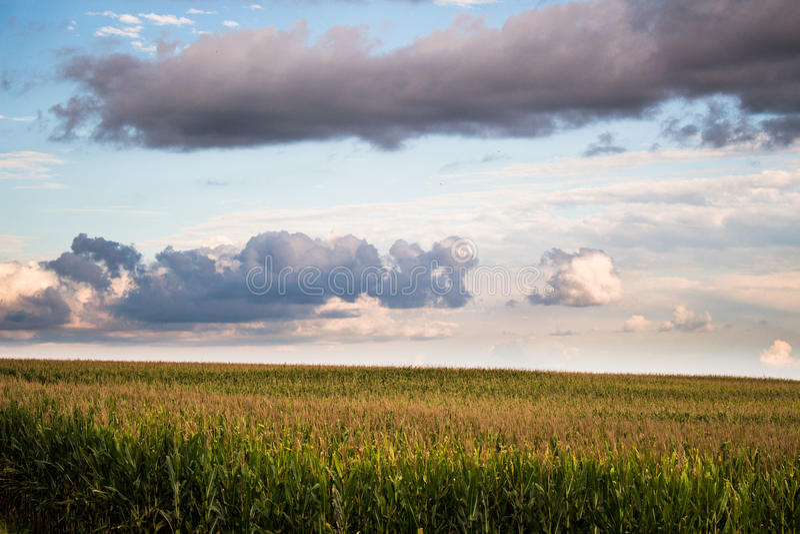 cornfield stockfoto