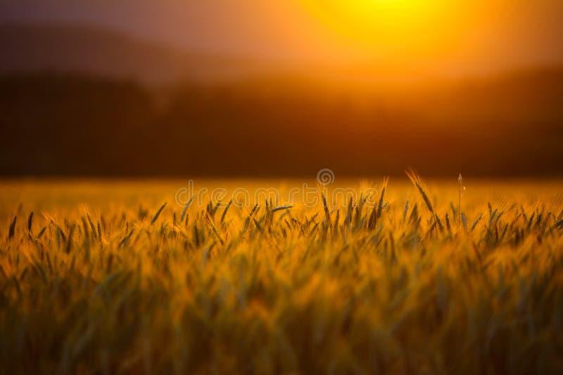 cornfield stock afbeeldingen