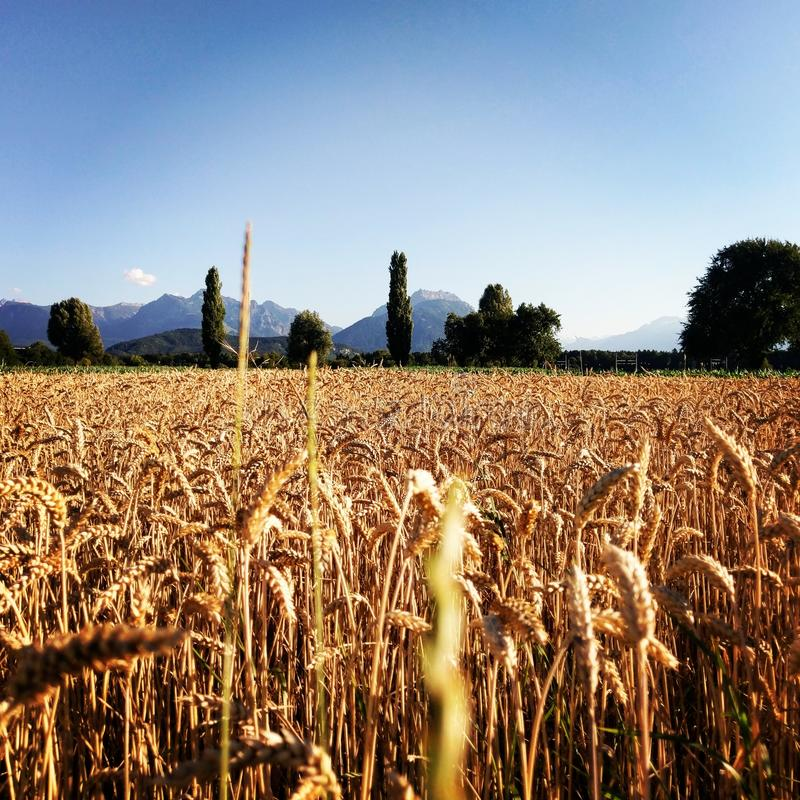 cornfield lizenzfreie stockbilder