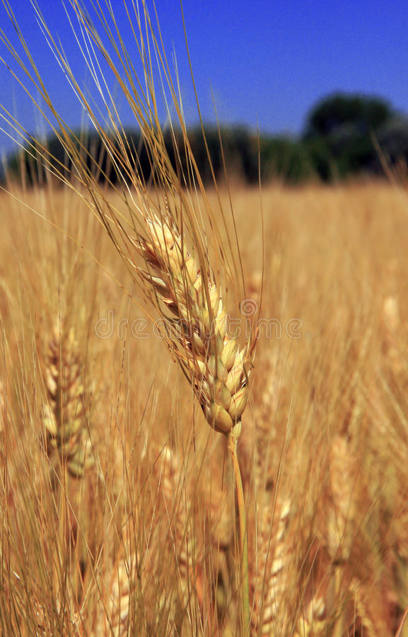 Cornfield and agriculture stock photography