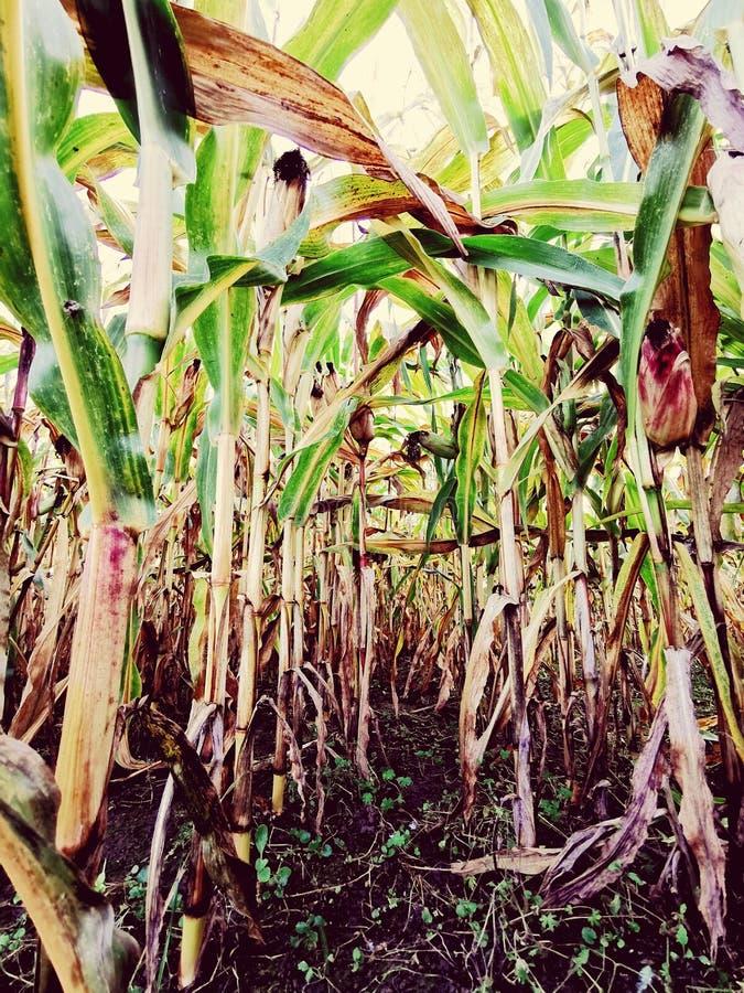 Cornfield au maïs du bas vers le haut photo stock