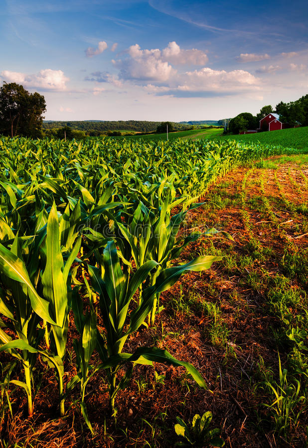 Cornfield and barn on a farm field in rural countryside stock images