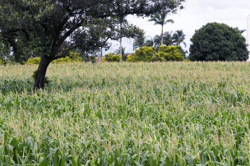 Cornfield in bloom. HOLAMBRA, SP, BRAZIL - JANUARY 9, 2016 - Cornfield in bloom in the countryside of the Sao Paulo State stock photography
