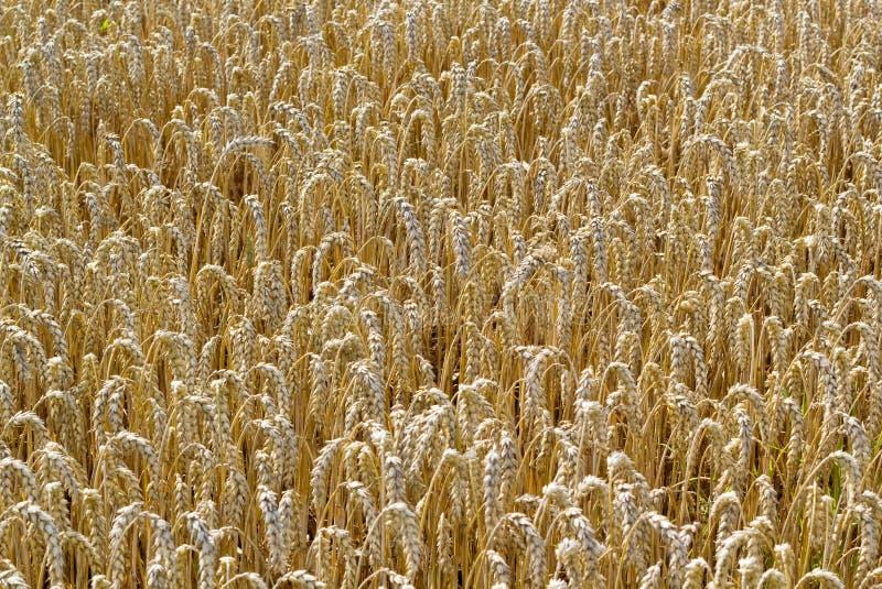 Cornfield bruin goud als achtergrond stock afbeelding