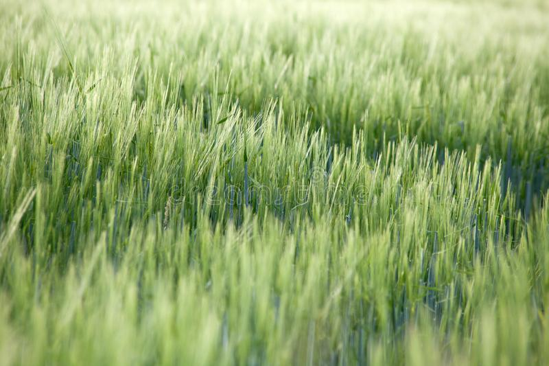 Cornfield cerca del paisaje Cereales sobre el terreno imagen de archivo libre de regalías