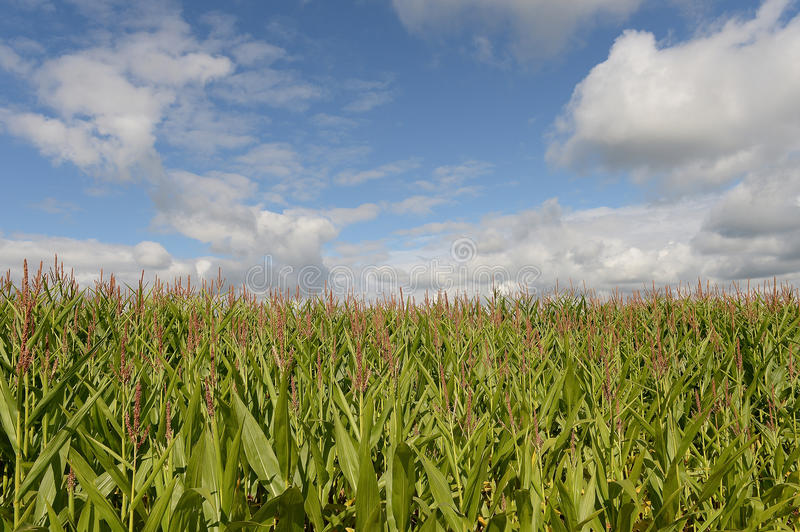 Download Cornfield stock photo. Image of planted, skies, sunlight - 32900712