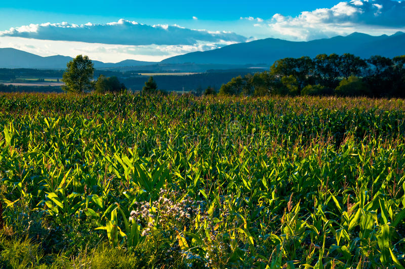 Download Cornfield stock photo. Image of landscape, time, clouds - 34441262