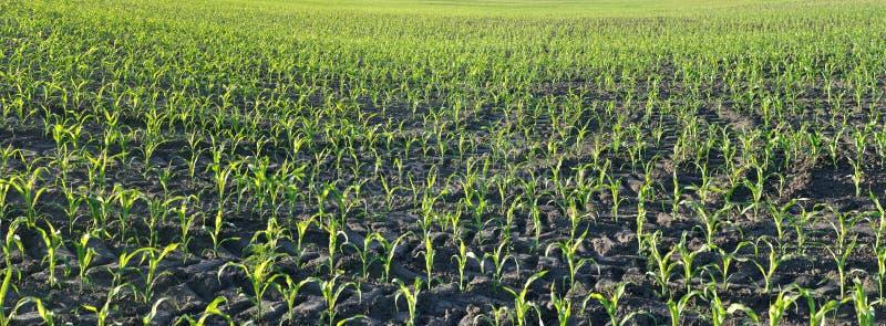 Cornfield de maïs au beau matin d'été photographie stock