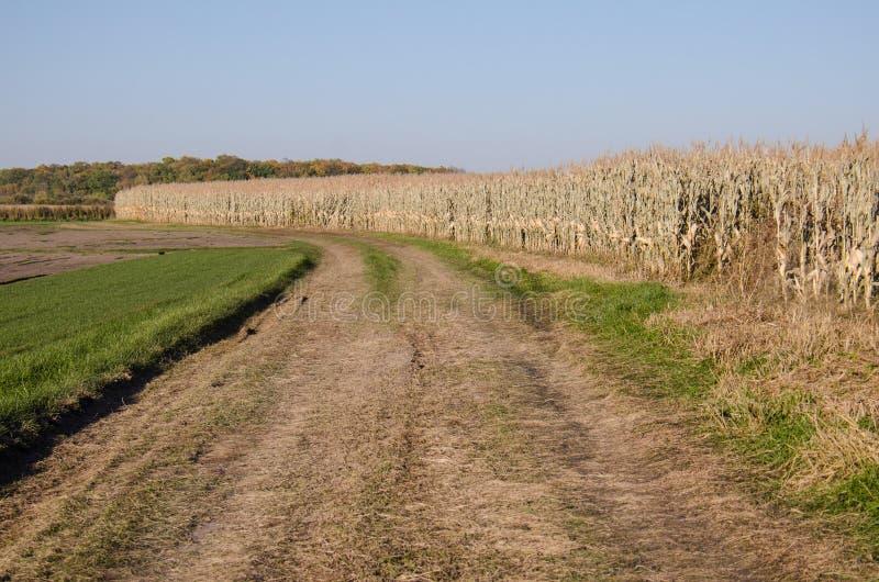Cornfield and a dirt road at a farm near Dayton, Minnesota. Rural field stock images