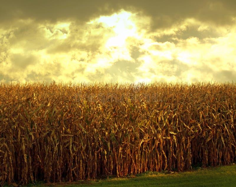 Cornfield at dusk stock photos