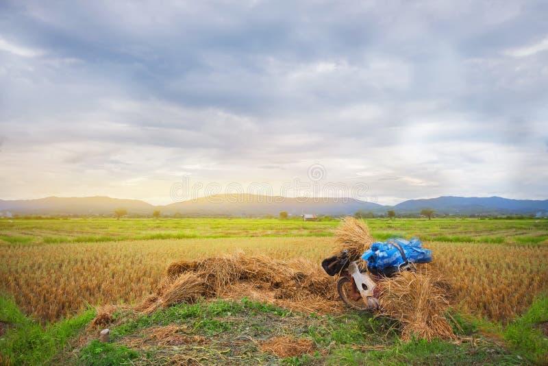 Cornfield farmer rice mountain stock photo
