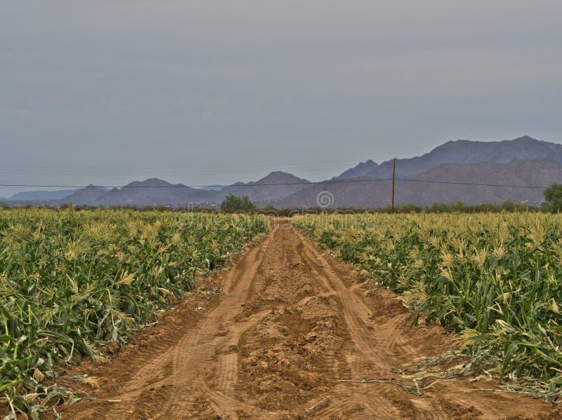 Cornfield i öknen fotografering för bildbyråer