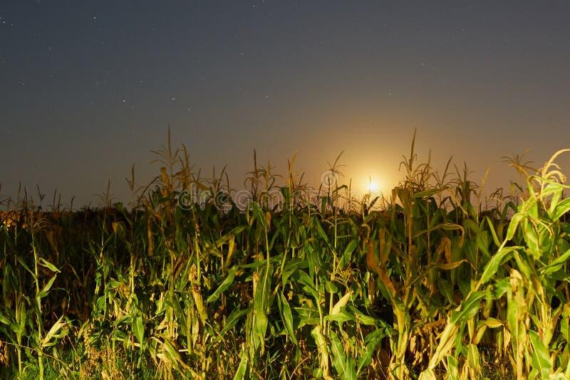 Cornfield i månsken fotografering för bildbyråer