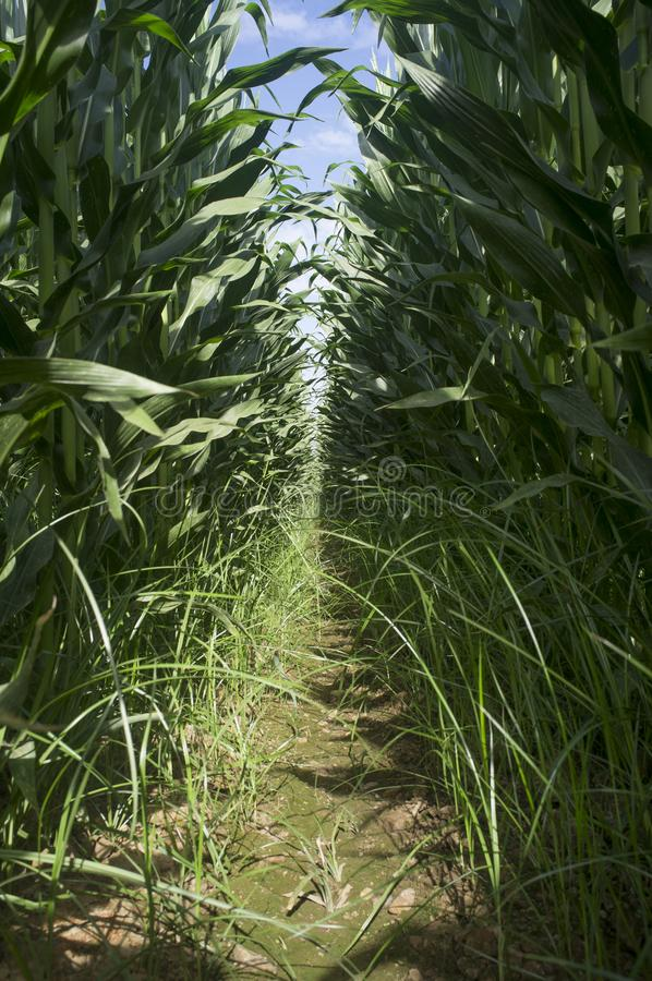 Cornfield interior furrow. Furrow view at Cornfield interior with wet ground stock images