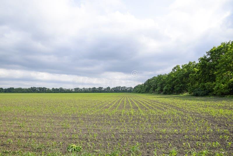cornfield Kleine graanspruiten, gebiedslandschap Bewolkte hemel en stelen van graan op het gebied stock foto's