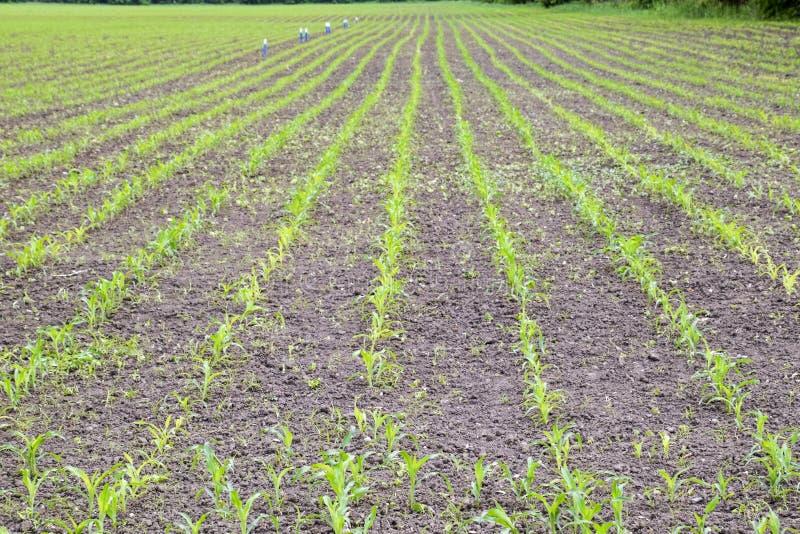 cornfield Kleine graanspruiten, gebiedslandschap Losse grond en stelen van graan op het gebied royalty-vrije stock foto's