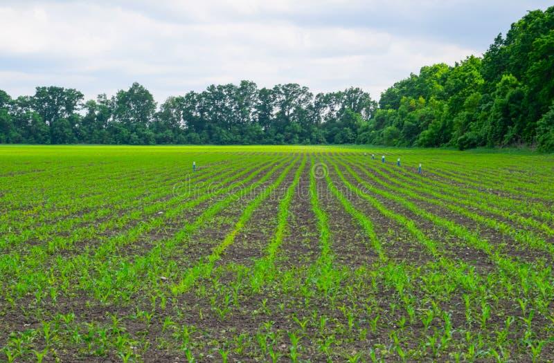 cornfield Kleine Maisspr?sslinge, Weidelandschaft Bewölkter Himmel und Stiele von Mais an lizenzfreies stockfoto