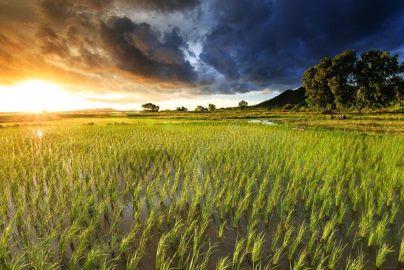 Cornfield. Lush paddy during lighting Twilight stock images