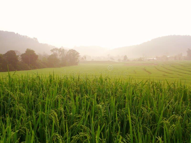Cornfield in morning at Doi Inthanon stock photos