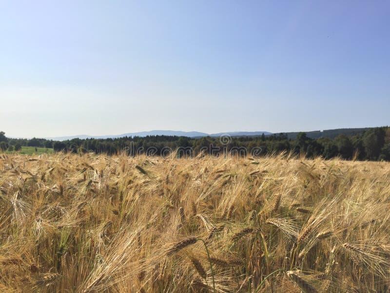 Cornfield- och blåtthösthimmel fotografering för bildbyråer