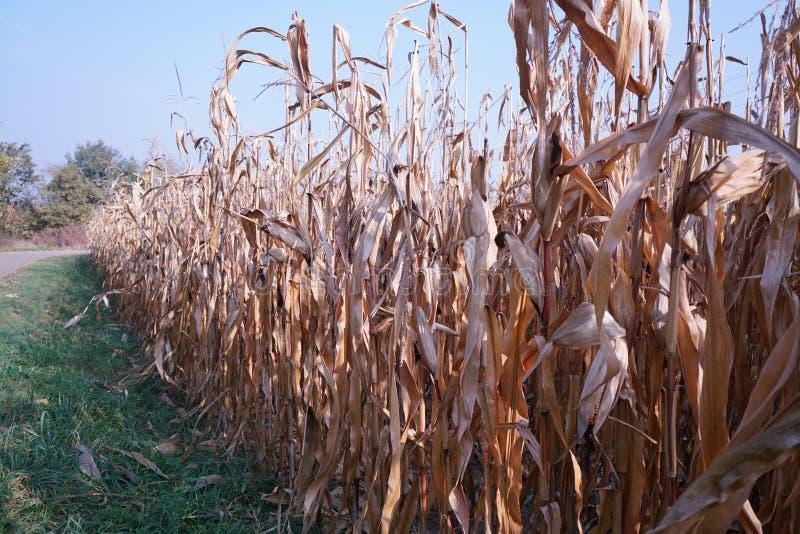 Cornfield på hösten arkivfoto