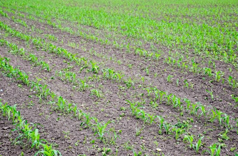 cornfield Piccoli germogli del cereale, paesaggio del campo Suolo e gambi sciolti di cereale sul immagini stock libere da diritti