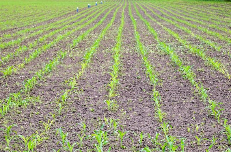 cornfield Piccoli germogli del cereale, paesaggio del campo Suolo e gambi sciolti di cereale sul immagine stock libera da diritti
